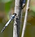 Blackpoint Skimmer (Nesciothemis farinosa) (32769771323).jpg