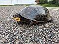 Blanding's Turtle Crossing (40922837020).jpg