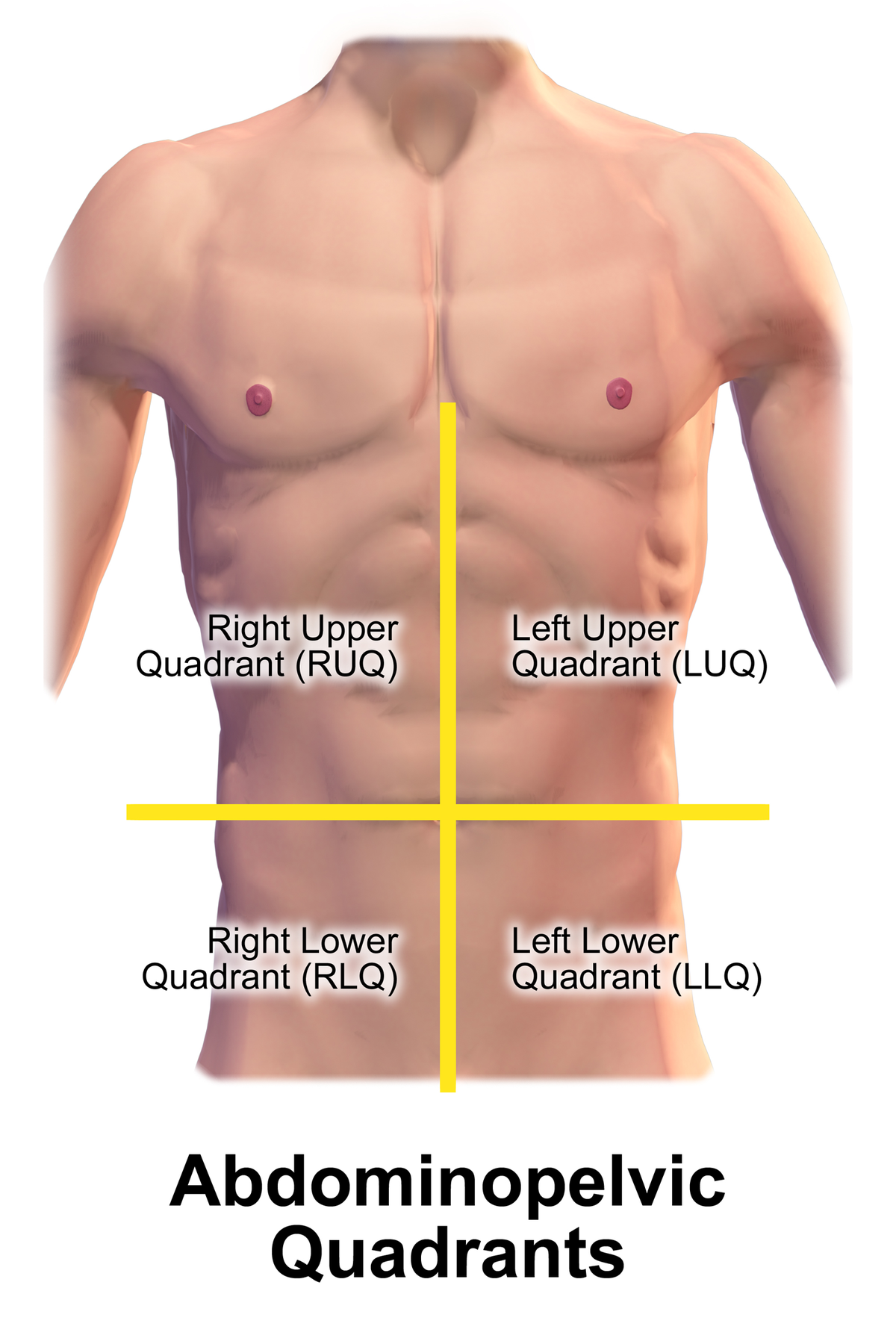 Quadrant  abdomen on thoracic cavity diagram