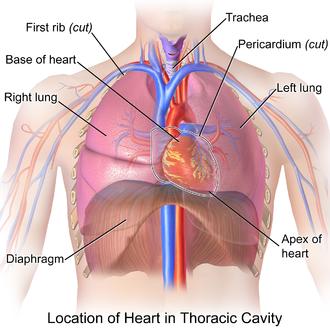 Thoracic cavity - Image: Blausen 0458 Heart Thoracic Cavity
