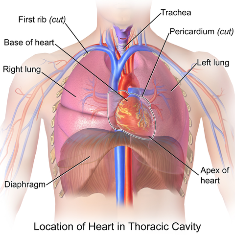 Bestand:Blausen 0458 Heart ThoracicCavity.png - Wikipedia