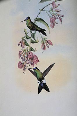 Eriocnemis glaucopoides, gemalt von John Gould
