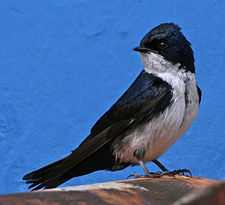 Blue-and-white Swallow.jpg