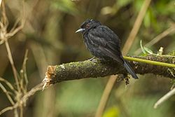 Blue-billed Black-Tyrant - REGUA - Brazil S4E1833 (12930235824).jpg