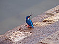 Blue-ear kingfisher.jpg