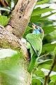 Blue-throated barbet SRI 02.jpg