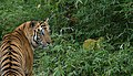 Blue Eyed Tiger - Flickr - Christopher Kray Visuals.jpg