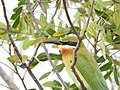 Blue Tailed Bee-eater.jpg