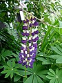 Blue and White Lupine (2646189120).jpg