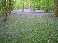 Bluebells in Steppingley Copse - geograph.org.uk - 431611.jpg