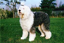 http://upload.wikimedia.org/wikipedia/commons/thumb/7/7b/Bobtail.JPG/250px-Bobtail.JPG