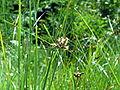 Bolboschoenus maritimus bgiu.jpg