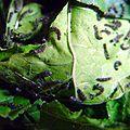 Bombyx mori Caterpillar 02. jpg