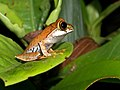 Boophis sp. Vohimana reserve, Madagascar (12295016405).jpg