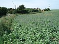 Borage crop at Mill Hill, Chipping - geograph.org.uk - 471671.jpg