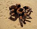 Brachypelma smithi 2009 G09.jpg