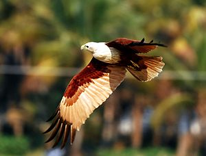 Brahminy kite - In flight, the rounded tail and plumage of adults is distinctive.