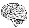 Brain Lateral.jpg
