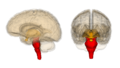 Brainstem.png