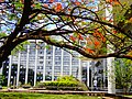 Brasilia DF Brasil - Flamboyant em flor - panoramio.jpg