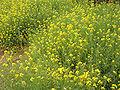 BrassicaCampestris2.jpg