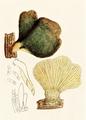 Bresadola - Pleurotus serotinus.png