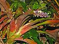 Bromeliaceae - Aechmea lueddemanniana.JPG