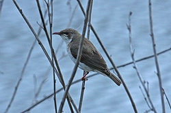 Brown-backed Honeyeater (Ramsayornis modestus).jpg