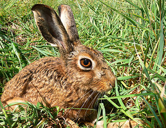 Cape hare - Image: Brown Hare 444