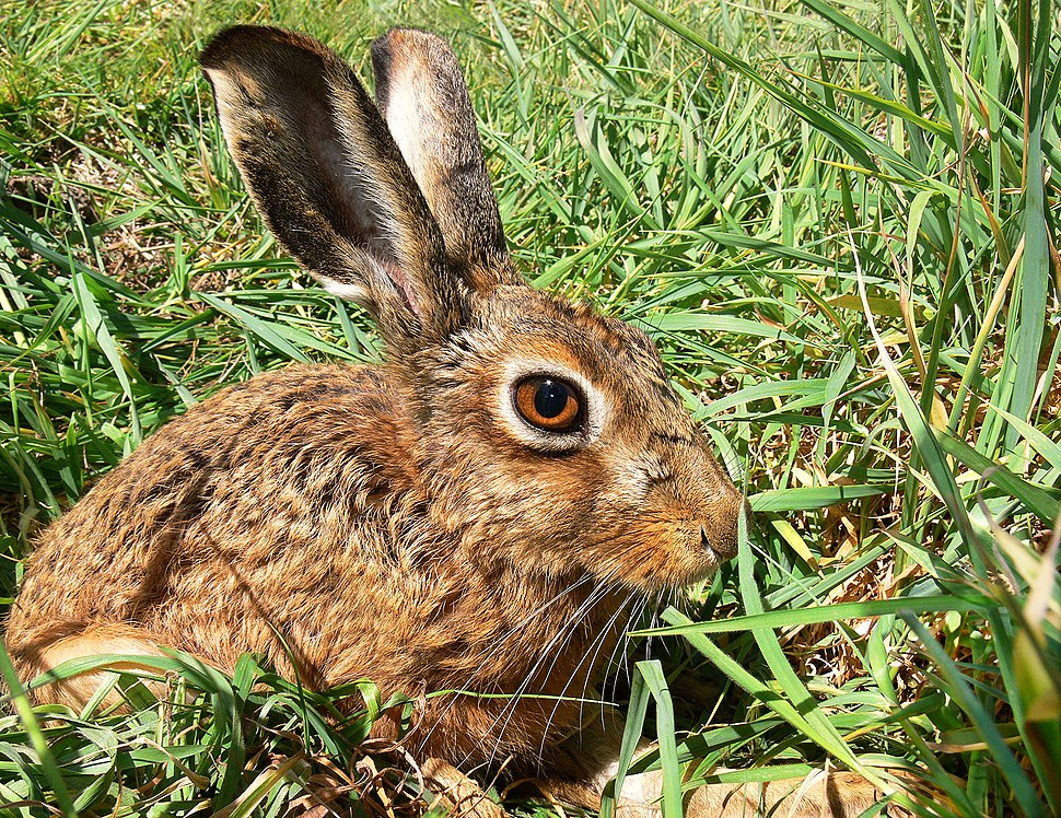 Brown Hare444
