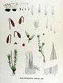 Bryum erythrocarpum — Flora Batava — Volume v17.jpg