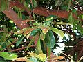 Buchanania arborescens Kewarra 4166.jpg