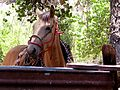 Buckskin Horse (2590398035).jpg