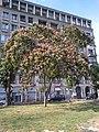 Bucuresti, Romania. Un copac cu flori.jpg