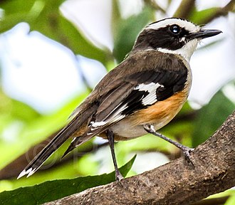 Buff-sided robin - in the Northern Territory