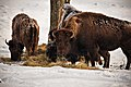 Buffalo-herd-grazing-grass-winter-snow - Virginia - ForestWander.jpg