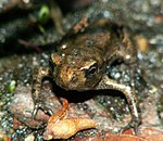 Bufo Bufo after metamorphosis.jpg