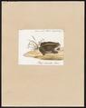 Bufo calamita - 1700-1880 - Print - Iconographia Zoologica - Special Collections University of Amsterdam - UBA01 IZ11500179.tif