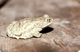 Bufo stomaticus - Image: Bufo stomaticus 04