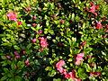 Buisson dans le jardin Albert Kahn 3.JPG
