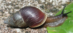Bulimulus limnoides