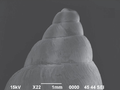 Bulimulus tenuissimus shell 5.png