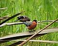 Bullfinches Pyrrhula pyrrhula (24208777577).jpg