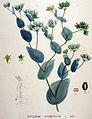 Bupleurum rotundifolium — Flora Batava — Volume v19.jpg