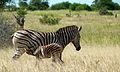 Burchell's Zebra (Equus quagga burchellii) (6022152856).jpg