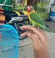 Burung Cinta 3.jpg