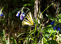 Butterfly and Blue Bells (5301154717).jpg