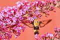 Butterfly bush with hummingbird moth (4756228962).jpg