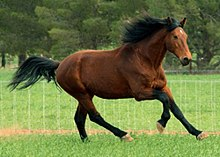 A bay horse cantering across a grassy field with a fence in the background.