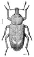 COLE Curculionidae Listroderes difficilis.png